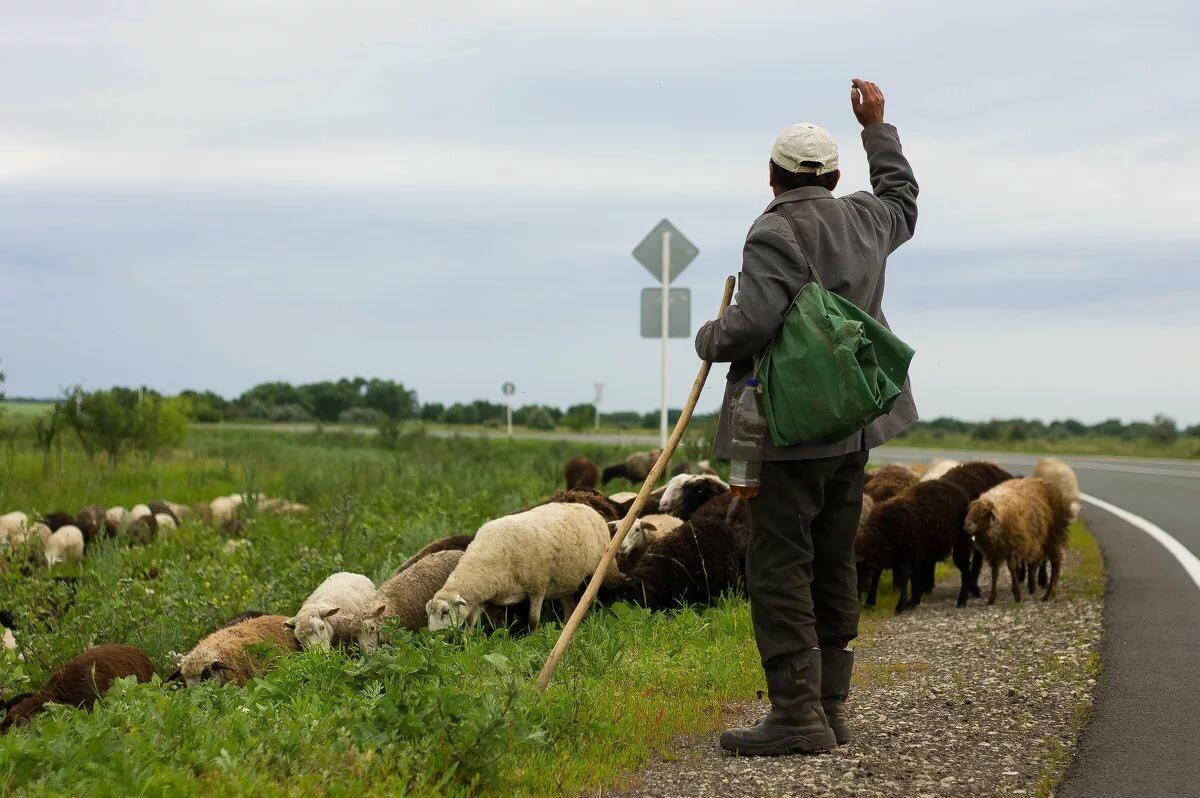 два пастуха картинки еще
