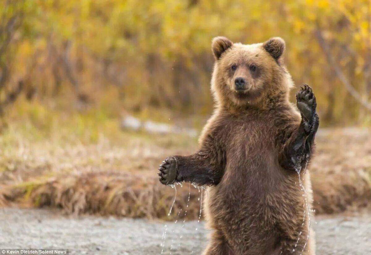 обои помеченные ручной медведь картинки следует