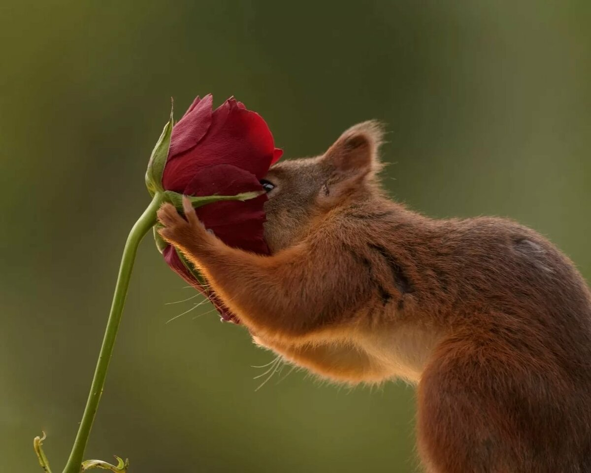 картинка белка с розами запчасти