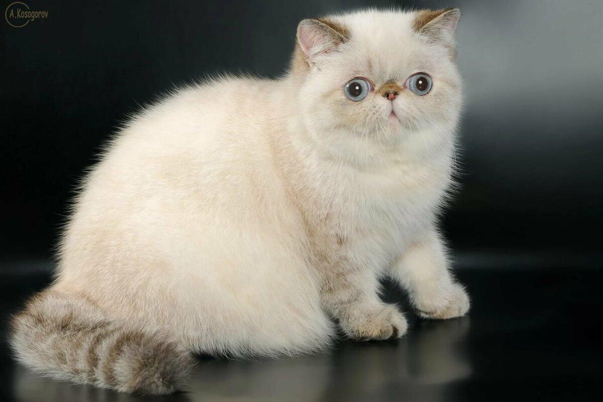 Картинки кошек породы экзотическая