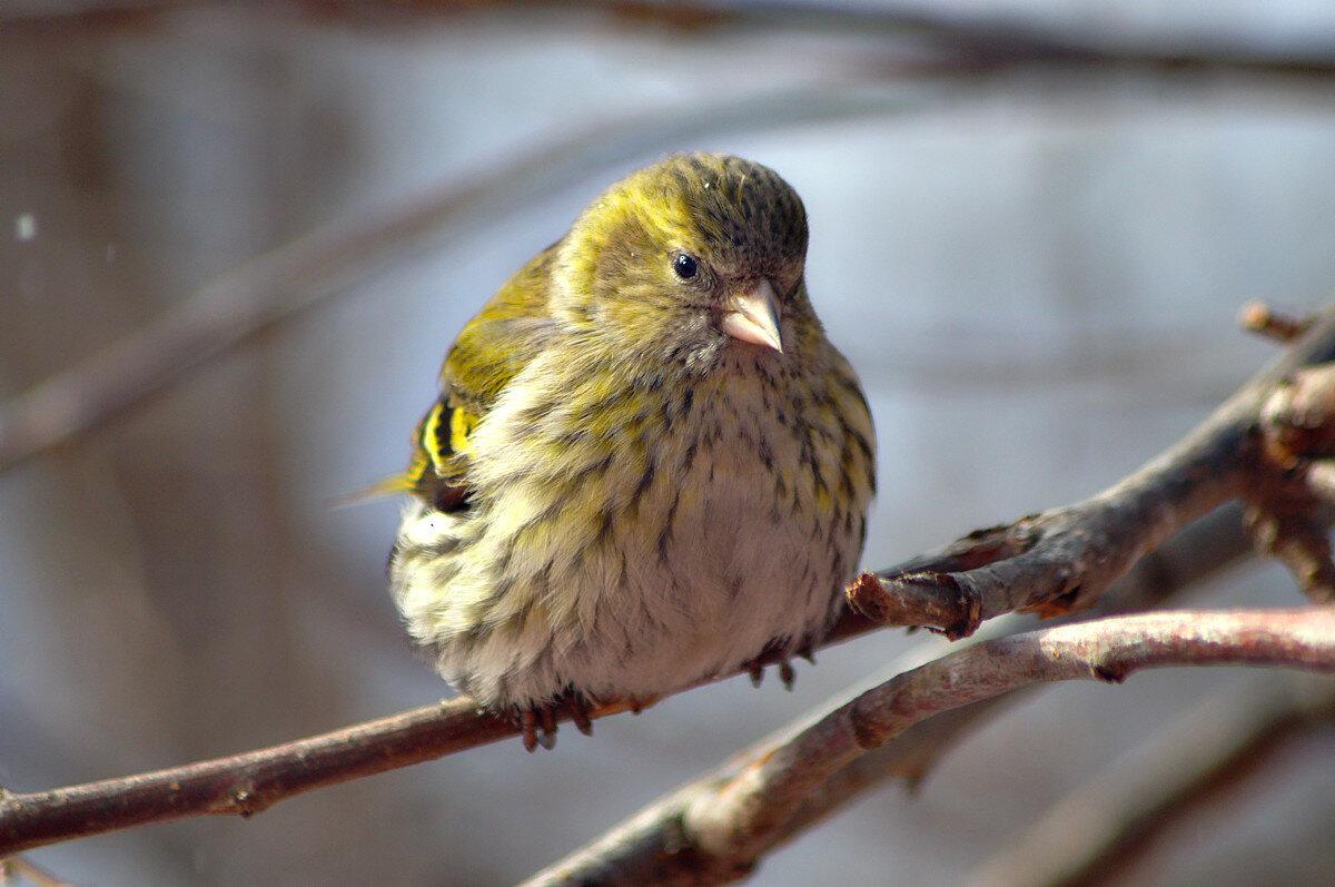 Картинка птиц чижик