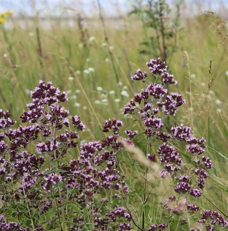лекарственные травы средней полосы с картинками