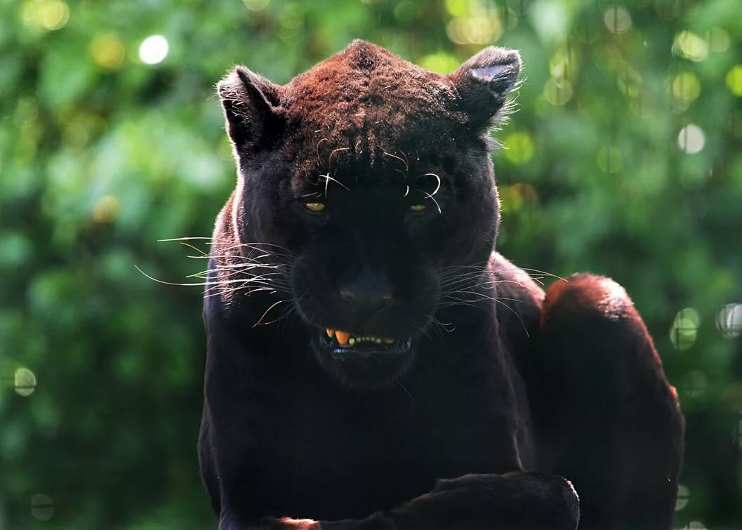 Картинка пантеры злой