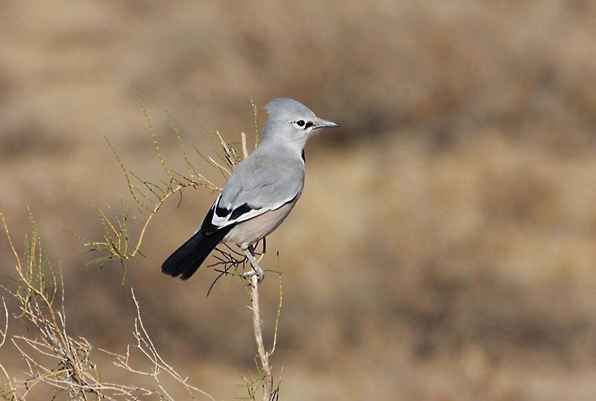обладает птицы средней азии в картинках много интересных