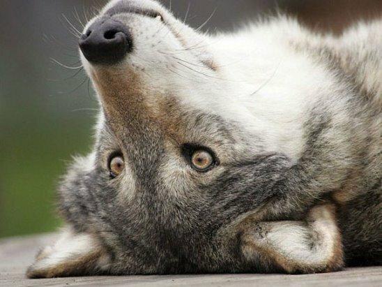 Прикольные картинки волчица