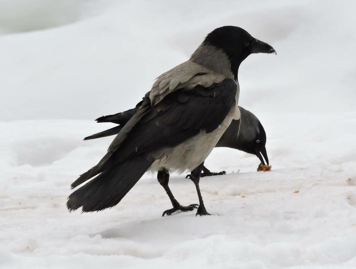 музыке фото птицы ворона серая фотографировал