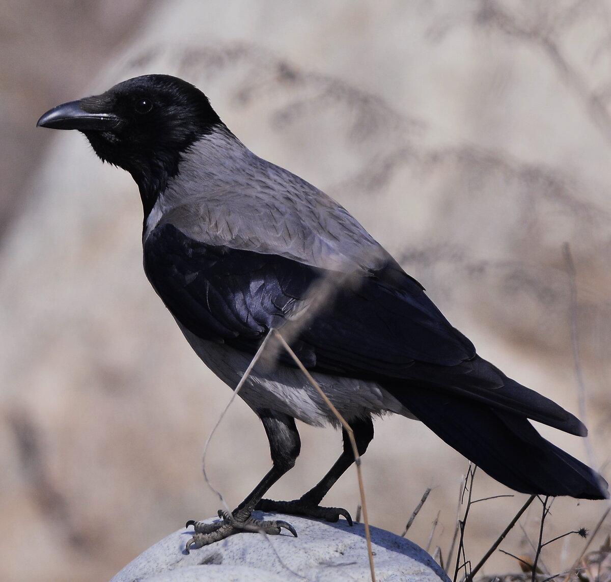 Фото птицы ворона серая шарпеев всегда