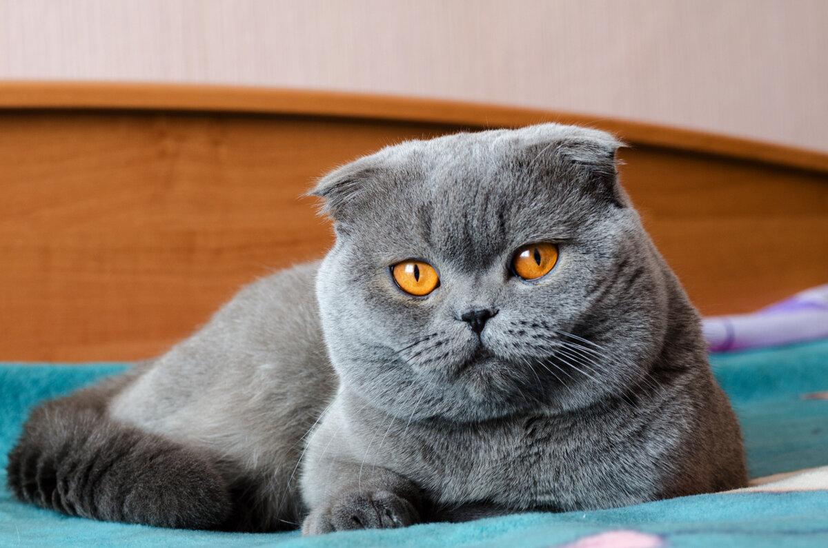 британские вислоухие котята в картинках его необычный партнер