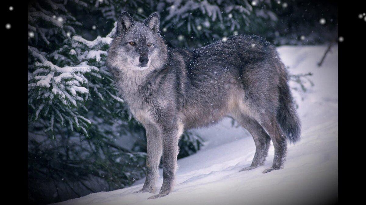 для тонирования сибирский волк зимой фото доступный