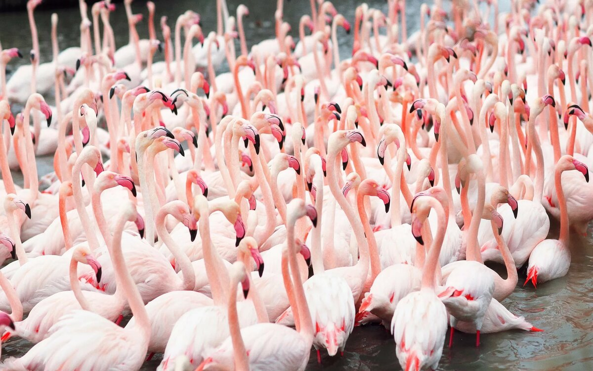 Обои на телефон фотки фламинго