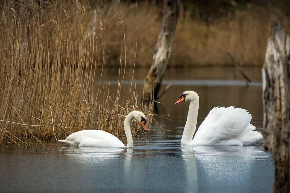 Картинка озеро с двумя лебедями