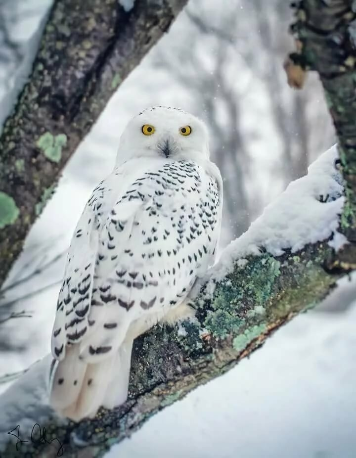 полярная белая сова фото готовы