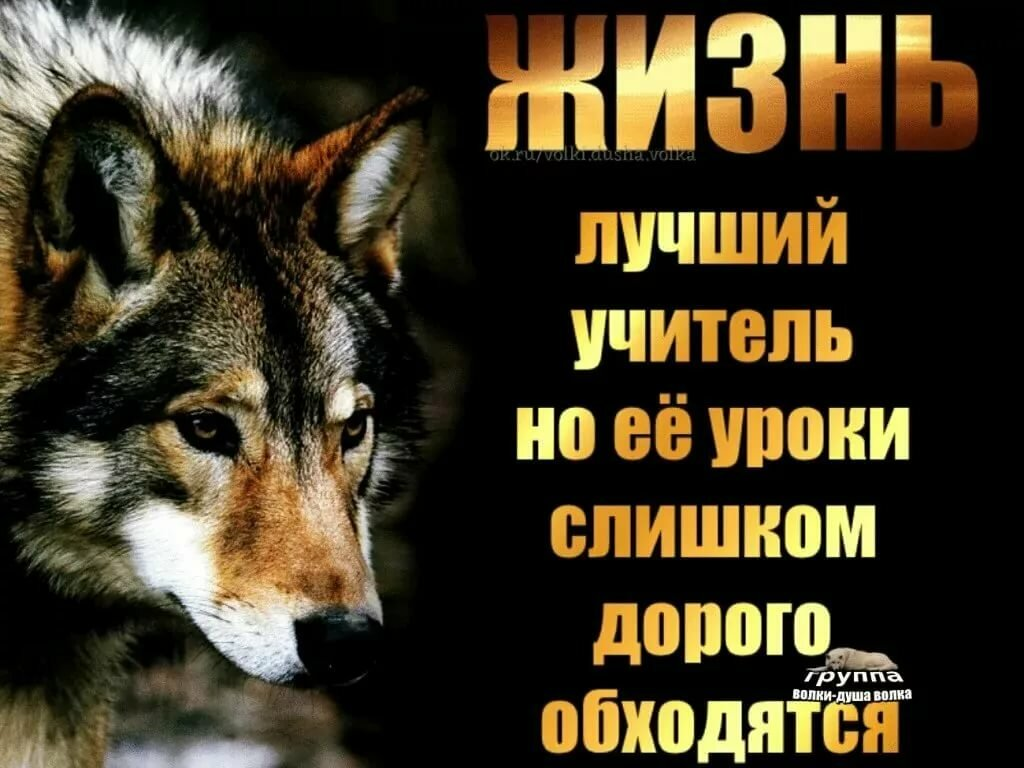 волк картинка с цитатами хищные