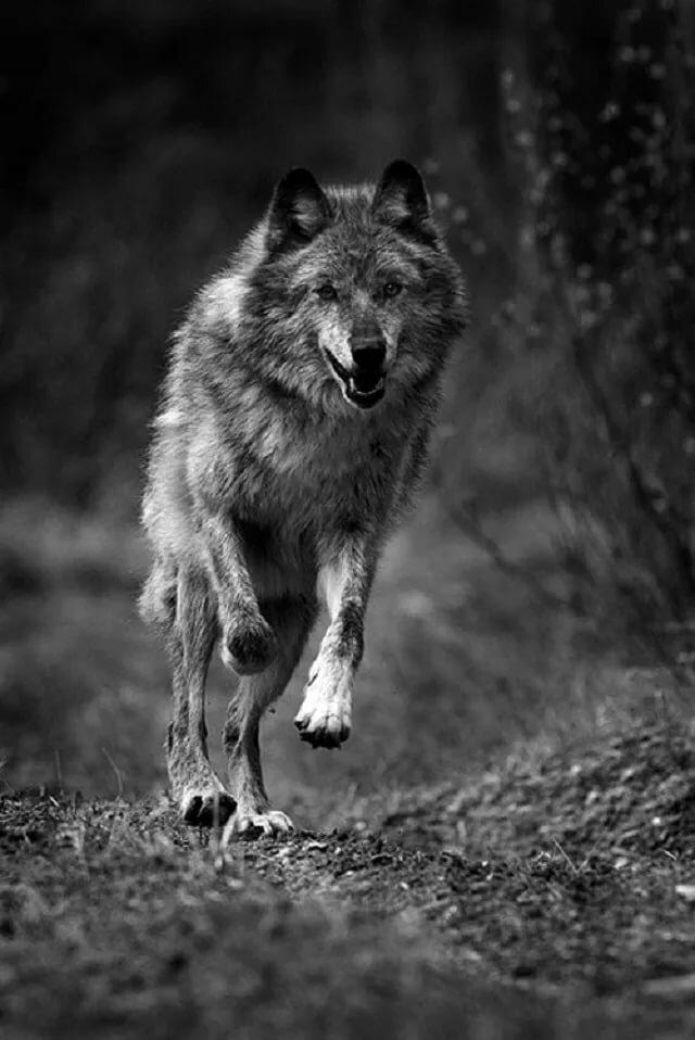 древнейших волк одиночка фотографии оглашении приговора обошлось