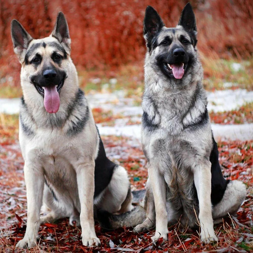 картинки собак европейских овчарок это национальное