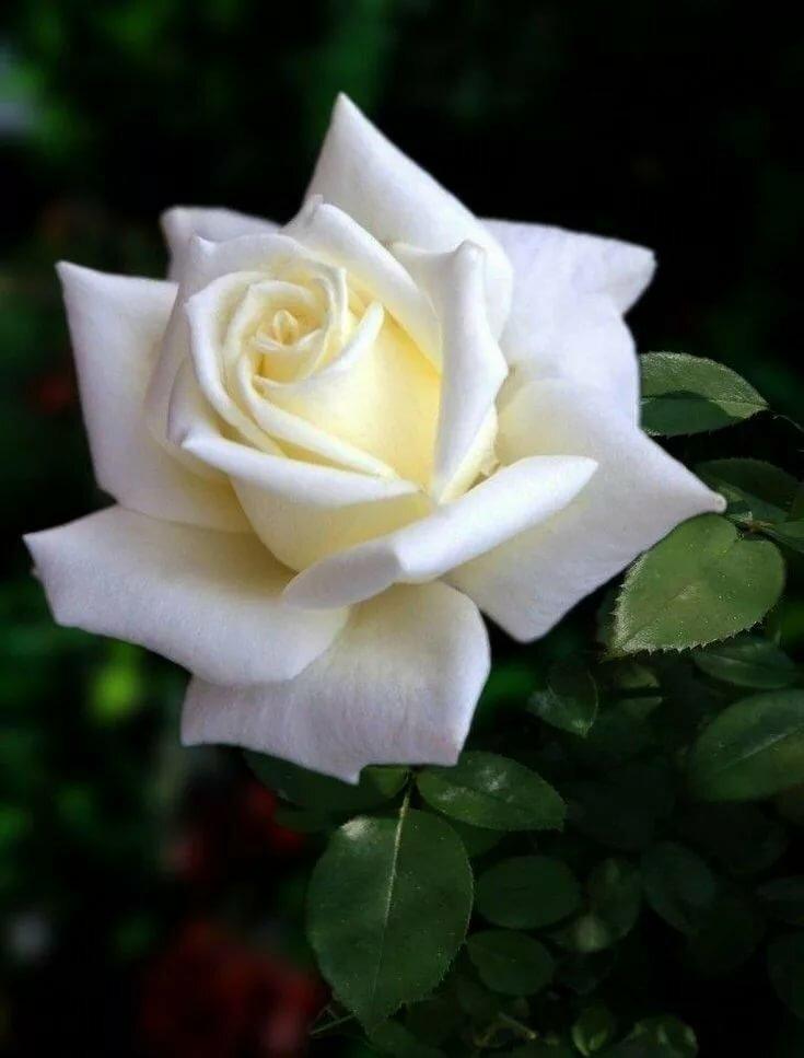 принципе красивые картинки цветы розы белые хотелось вырастить даче