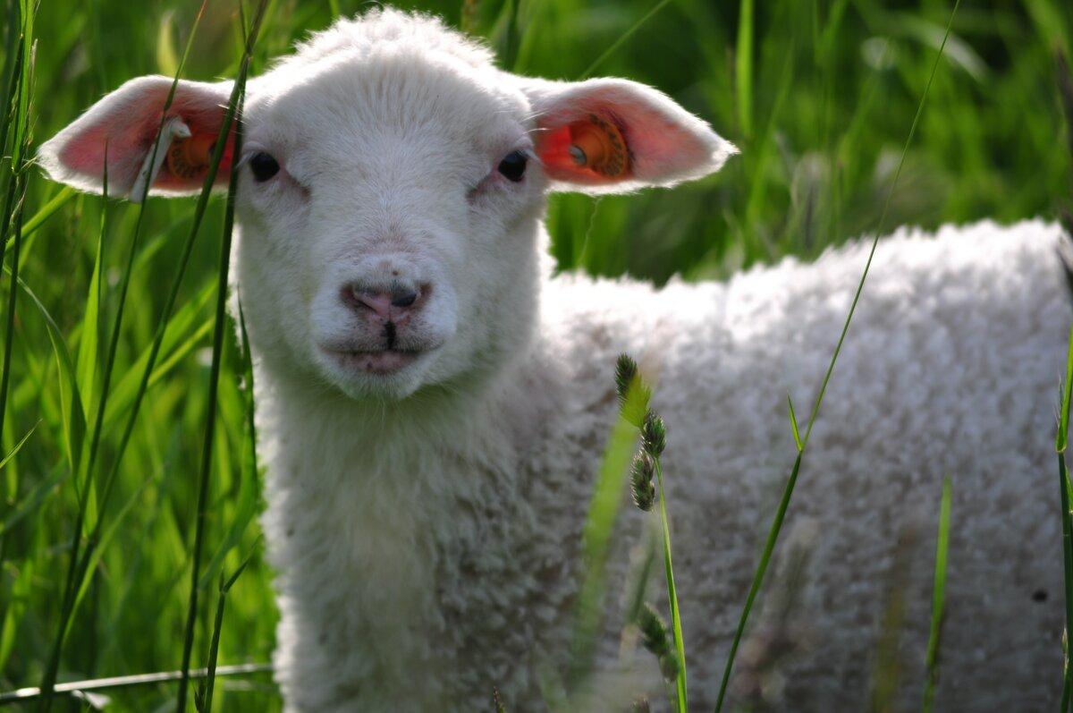 Картинки овечек фото, кисловодском