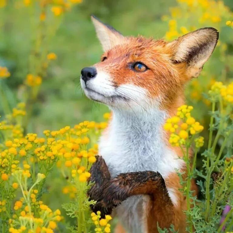 Картинка хитрые лисы