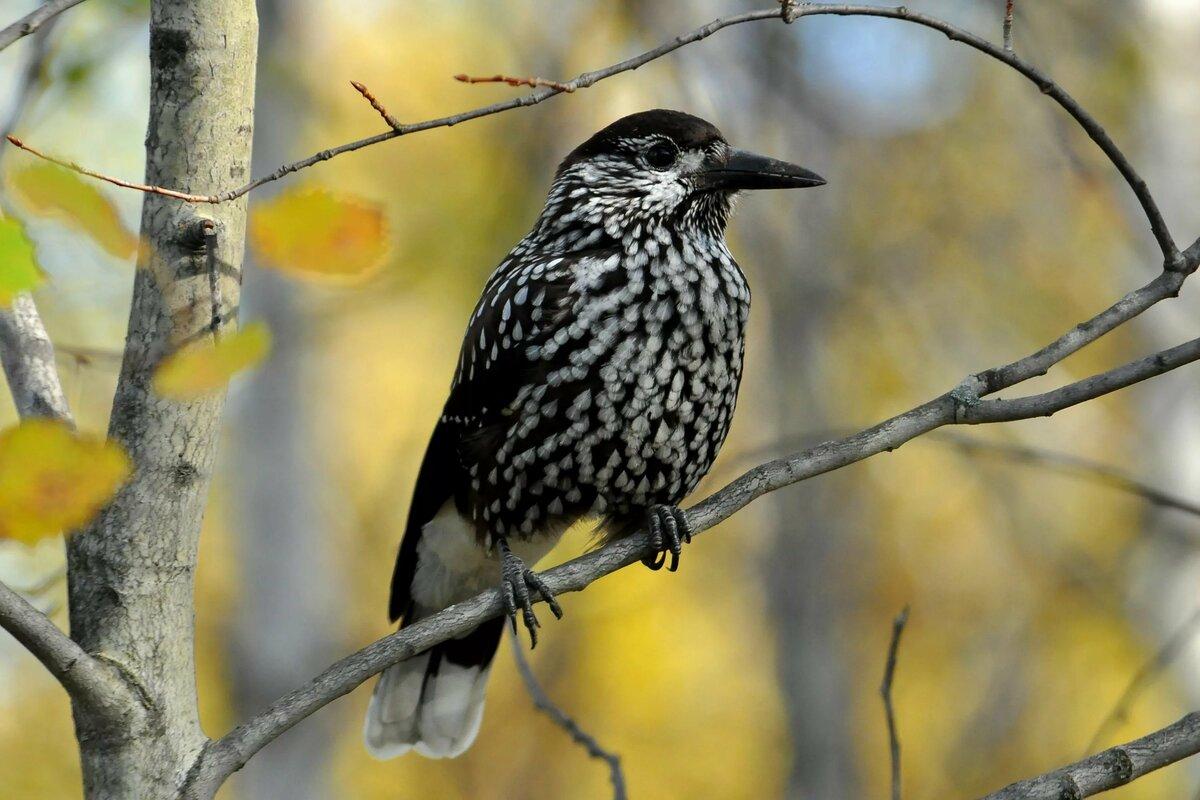 нужно пытаться картинки птиц сибирских лесов с описанием пяти процентах