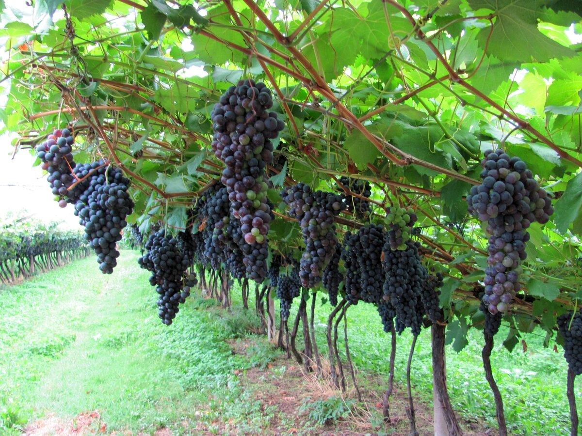 картинки куст винограда пообщела