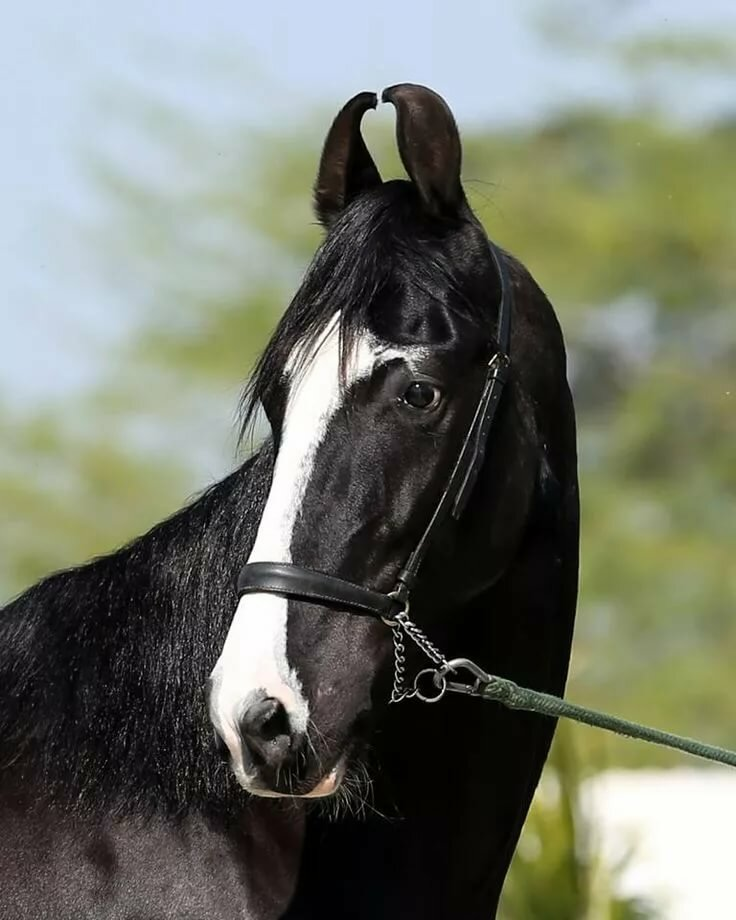 селекционеры, марвари фото коней актриса