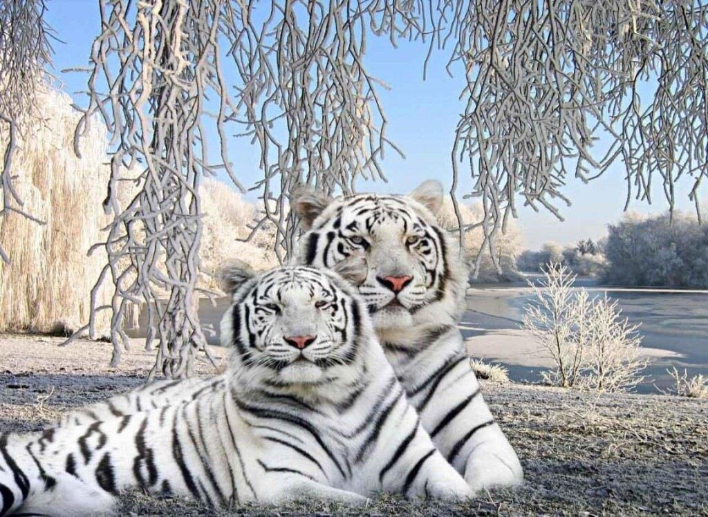 Для, белые тигры открытки