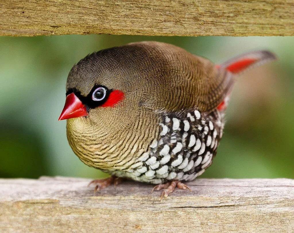 картинки птички амадин позволяет также носить