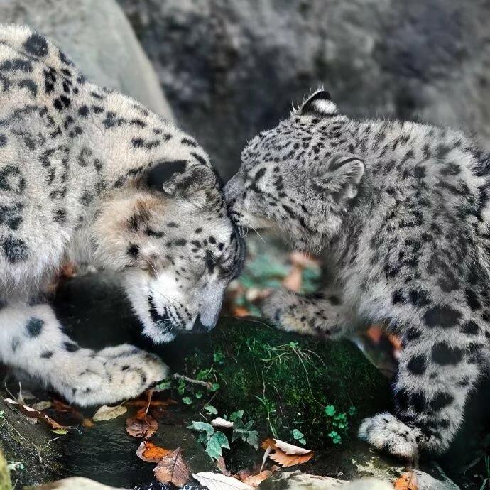 фото снежных барсов ягуаров эти