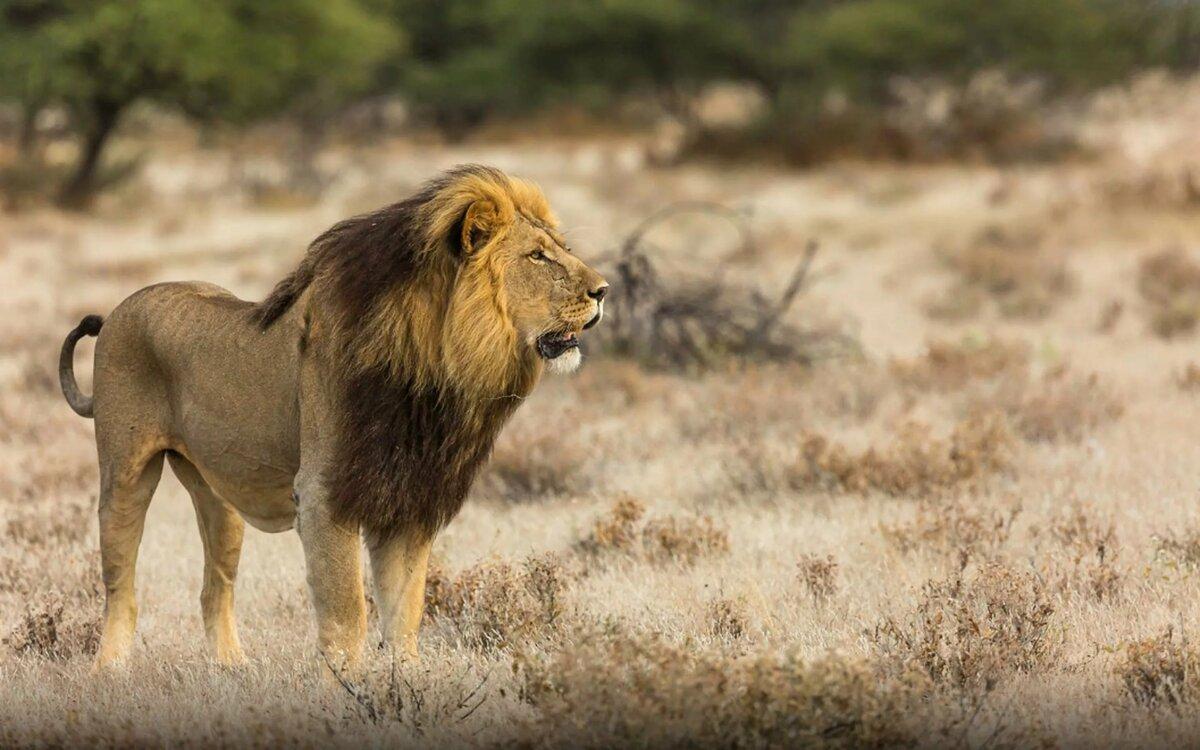 картинки про львов в африке супруга сходятся