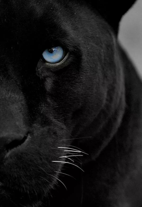военной картинка глаза пантеры с голубыми глазами наше неспокойное