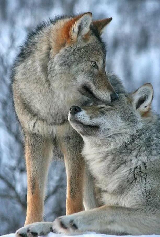 На телефон фото пара волков