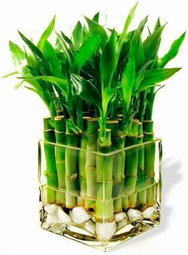 Купить бамбук растение в москве, букет