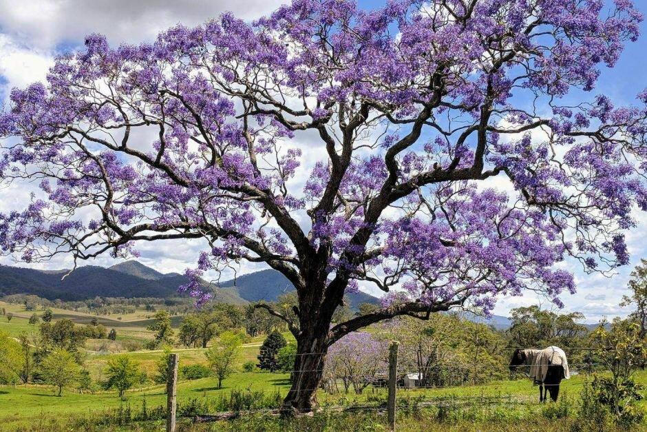 Палисандровое дерево фото