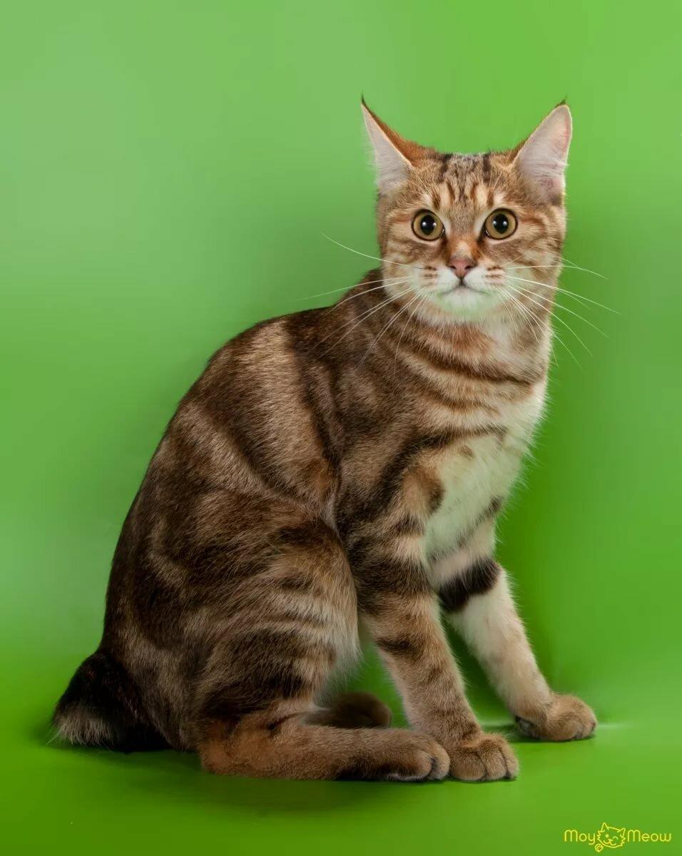 стран картинки курильских бобтейлов кошек народ спортзал отдельно