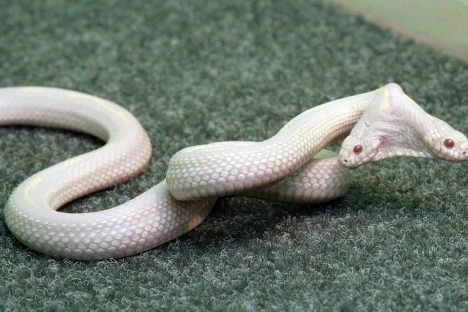 Двухголовая змея фото