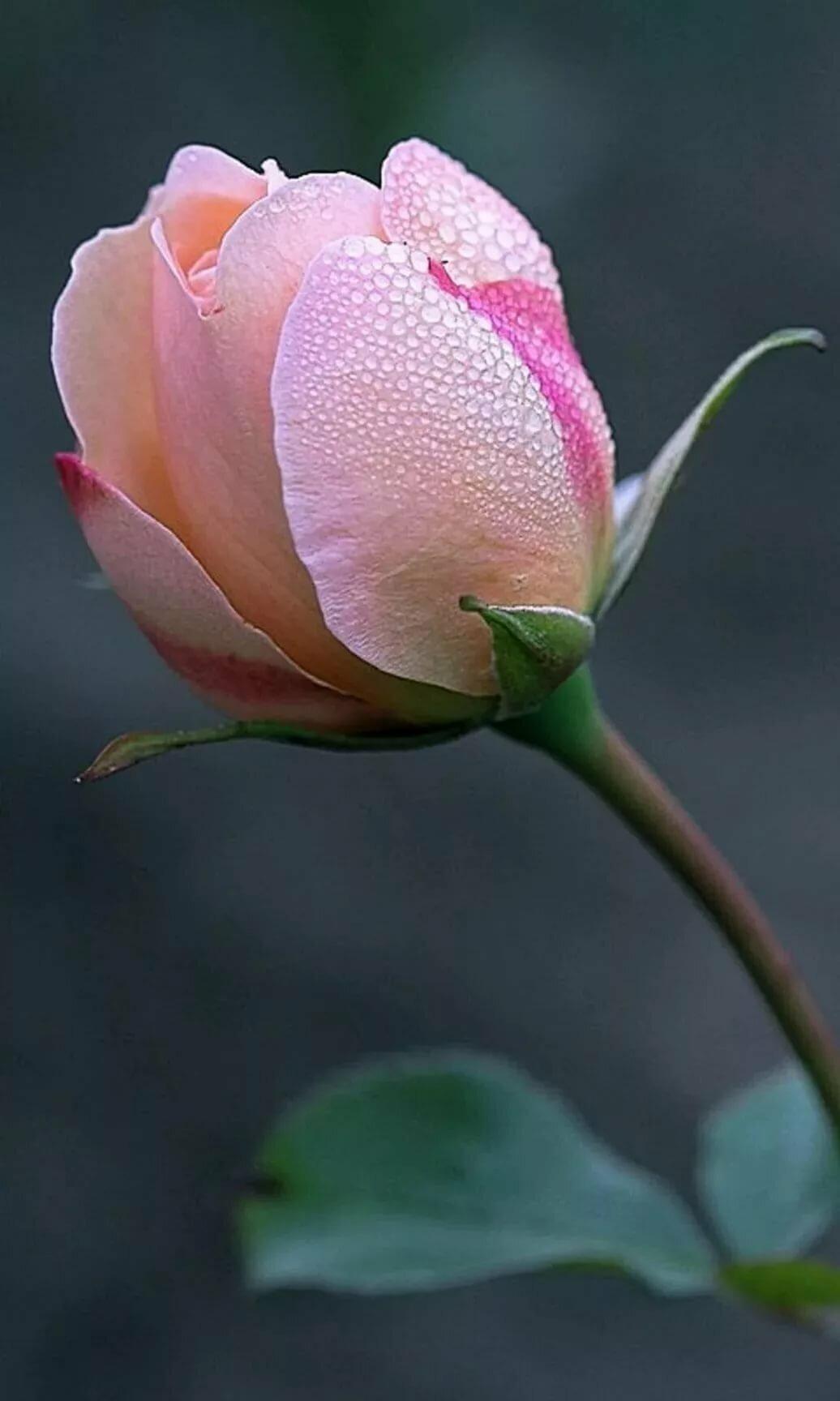 Картинки распускающихся роз