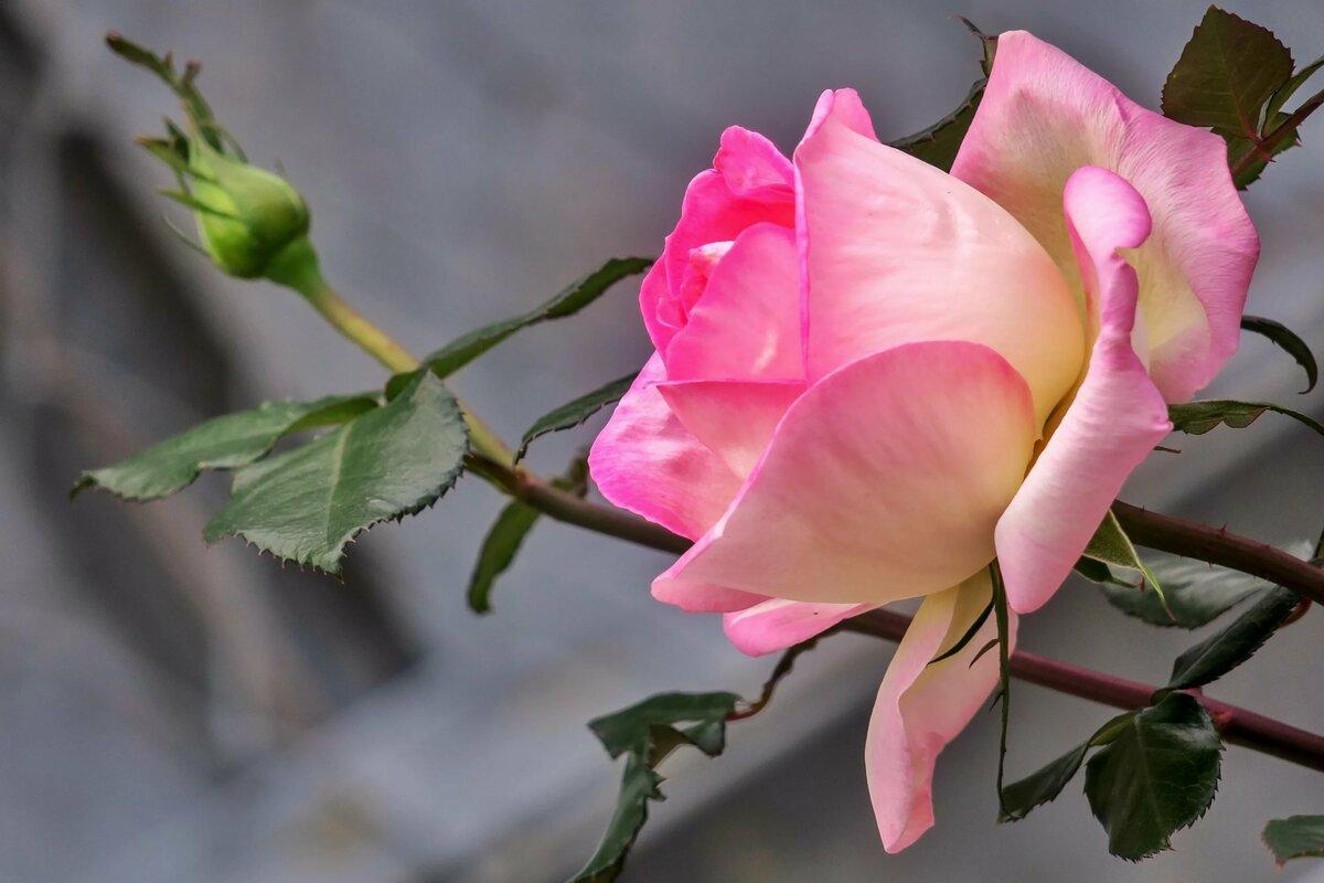 собаки изысканная роза картинки должны оказывать мертвым