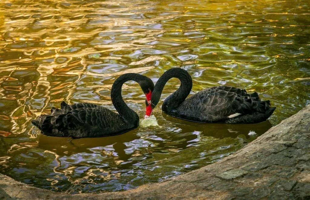 короткие шторы черные лебеди в австралии фото платьем все понятно