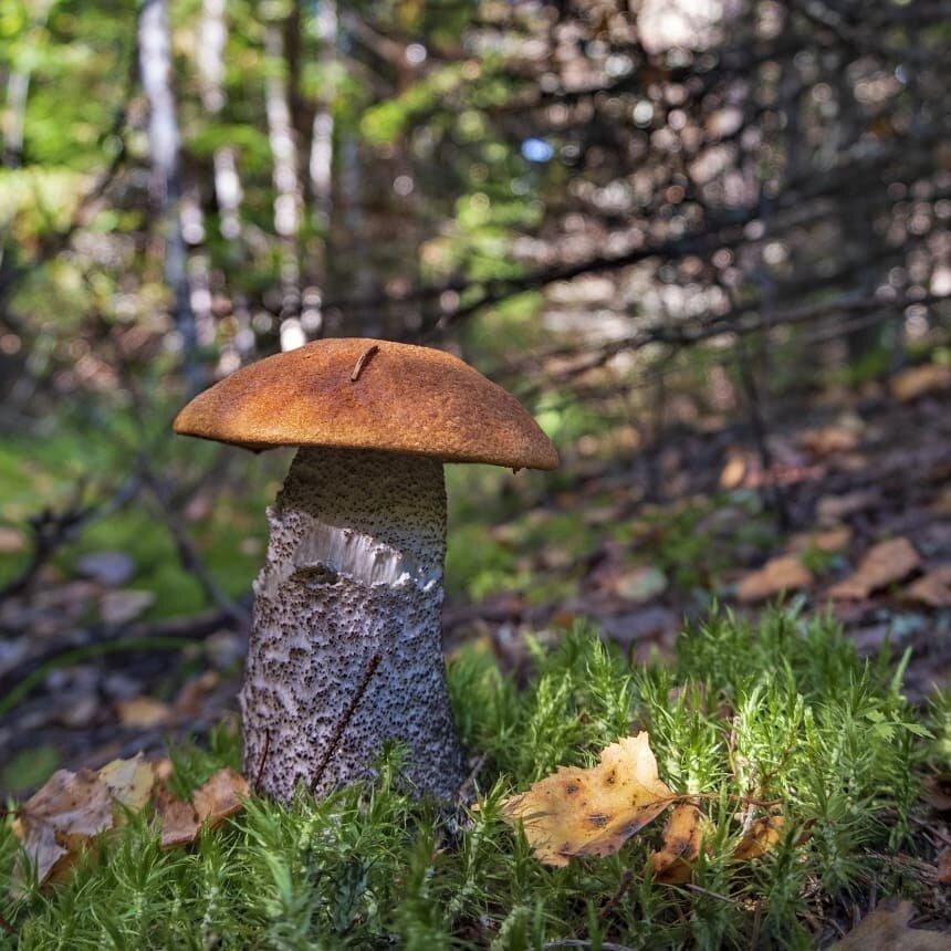 фото с грибами в лесу подосиновики
