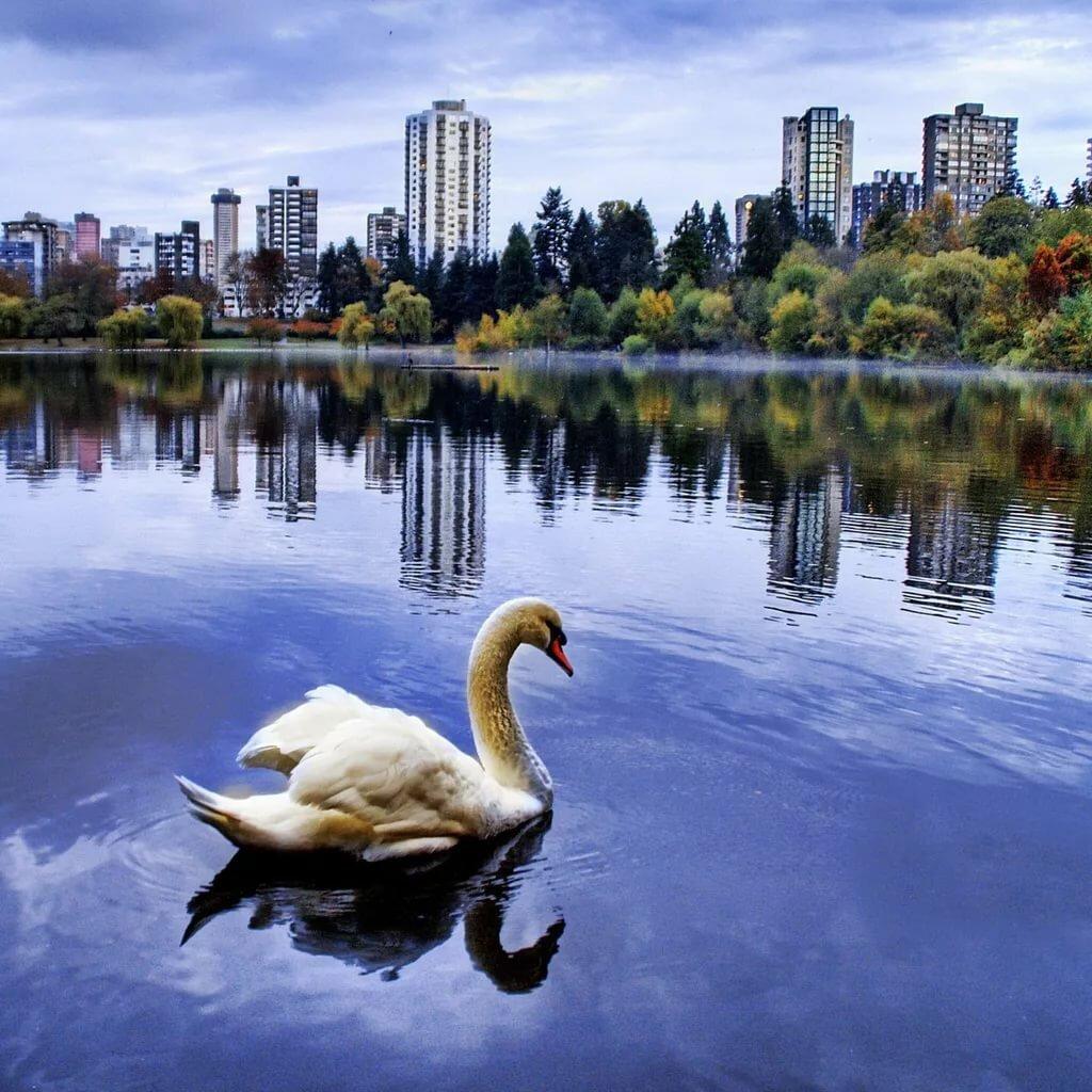 Картинки с лебедями на айфон