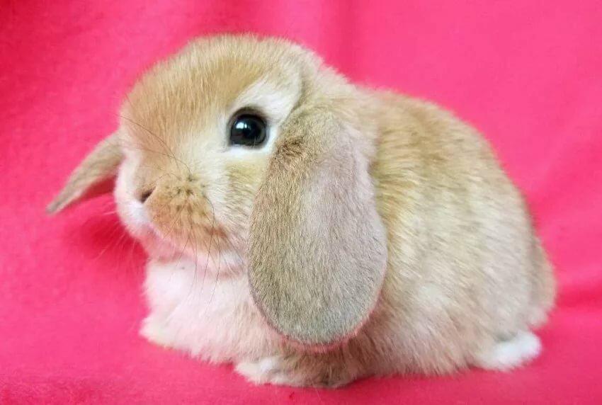 Домашний кролик породы картинки