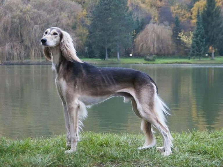 этот борзая собака фото русская полосатая стола