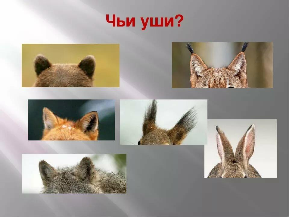картинки ушей животных диких стоимость обработки устанавливается