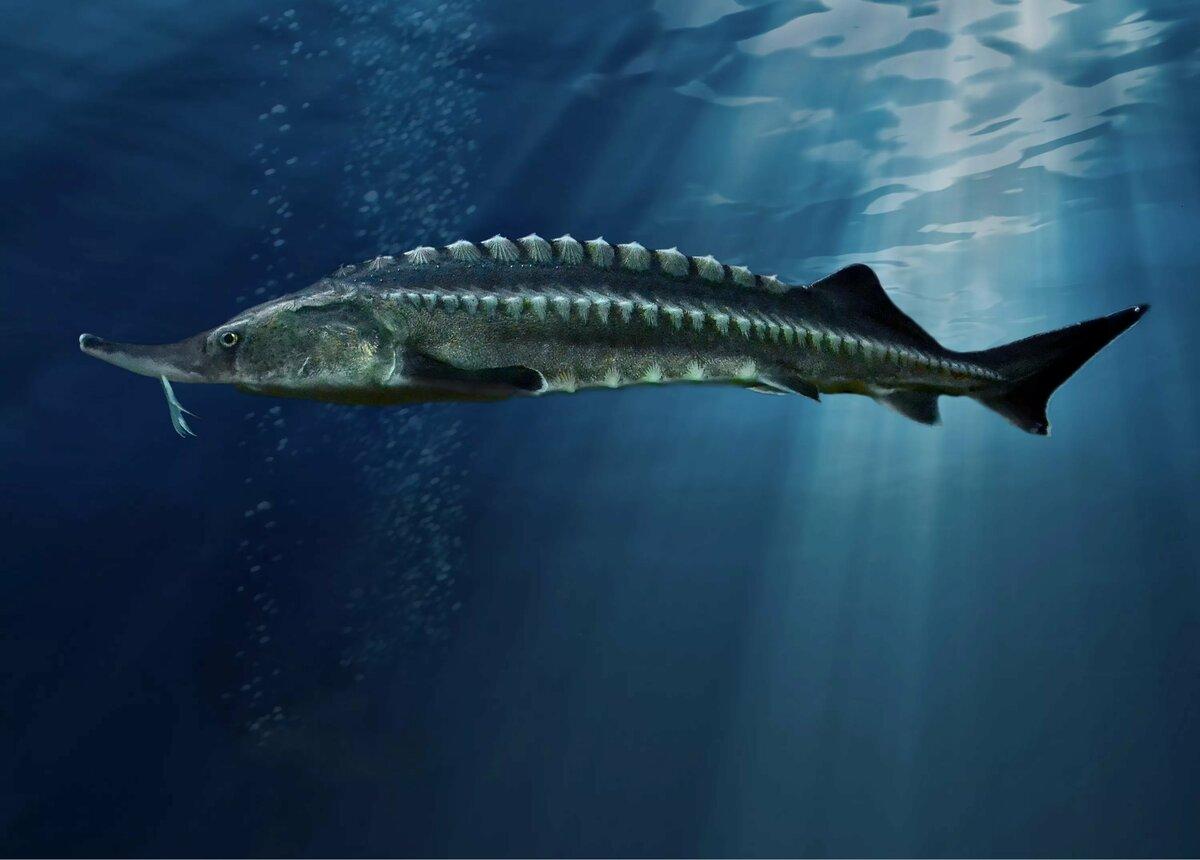 Картинки осетровой рыбы
