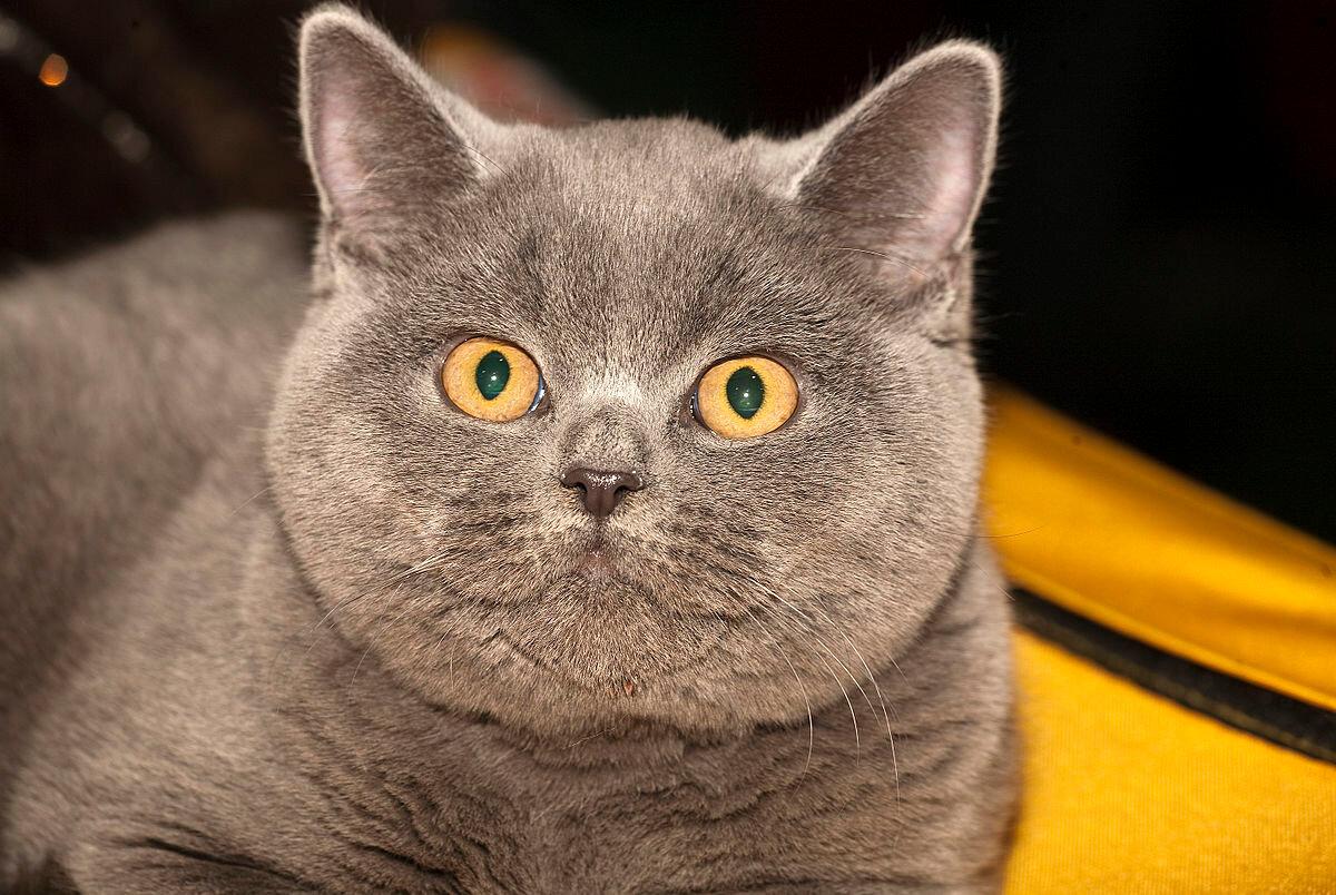 порода кошек британская короткошерстная фото лехой