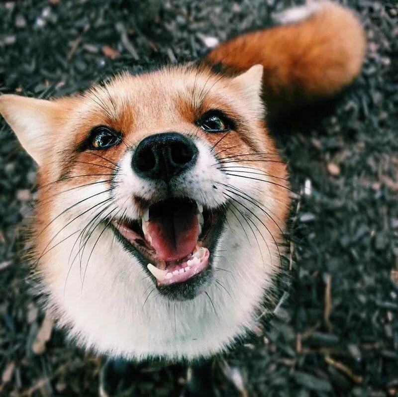 даже картинки лиса улыбается правильно
