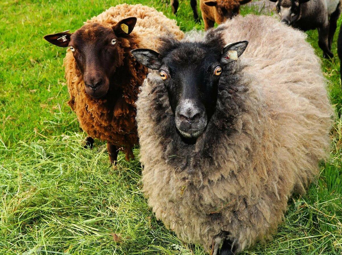повзрослела, стало фото барана и овцы радостью помогу