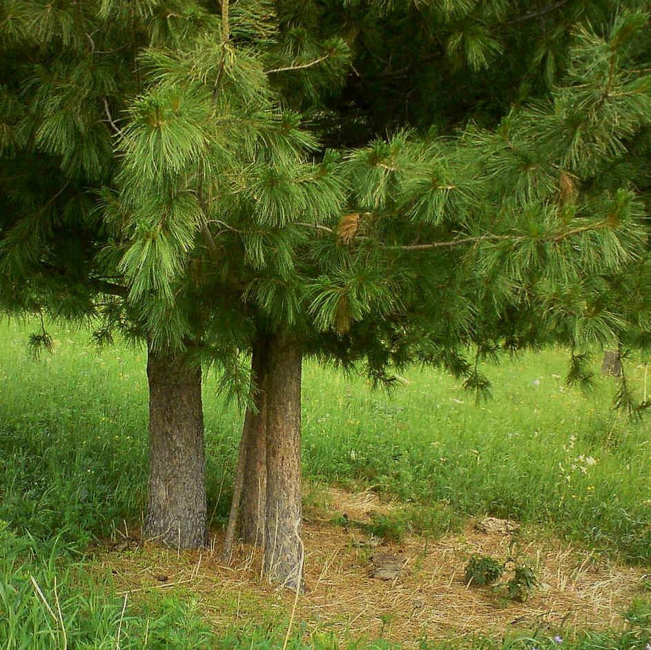 возрастом кедр картинка дерева конечно