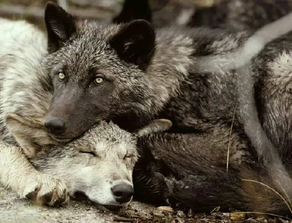 Волки в обнимку картинка