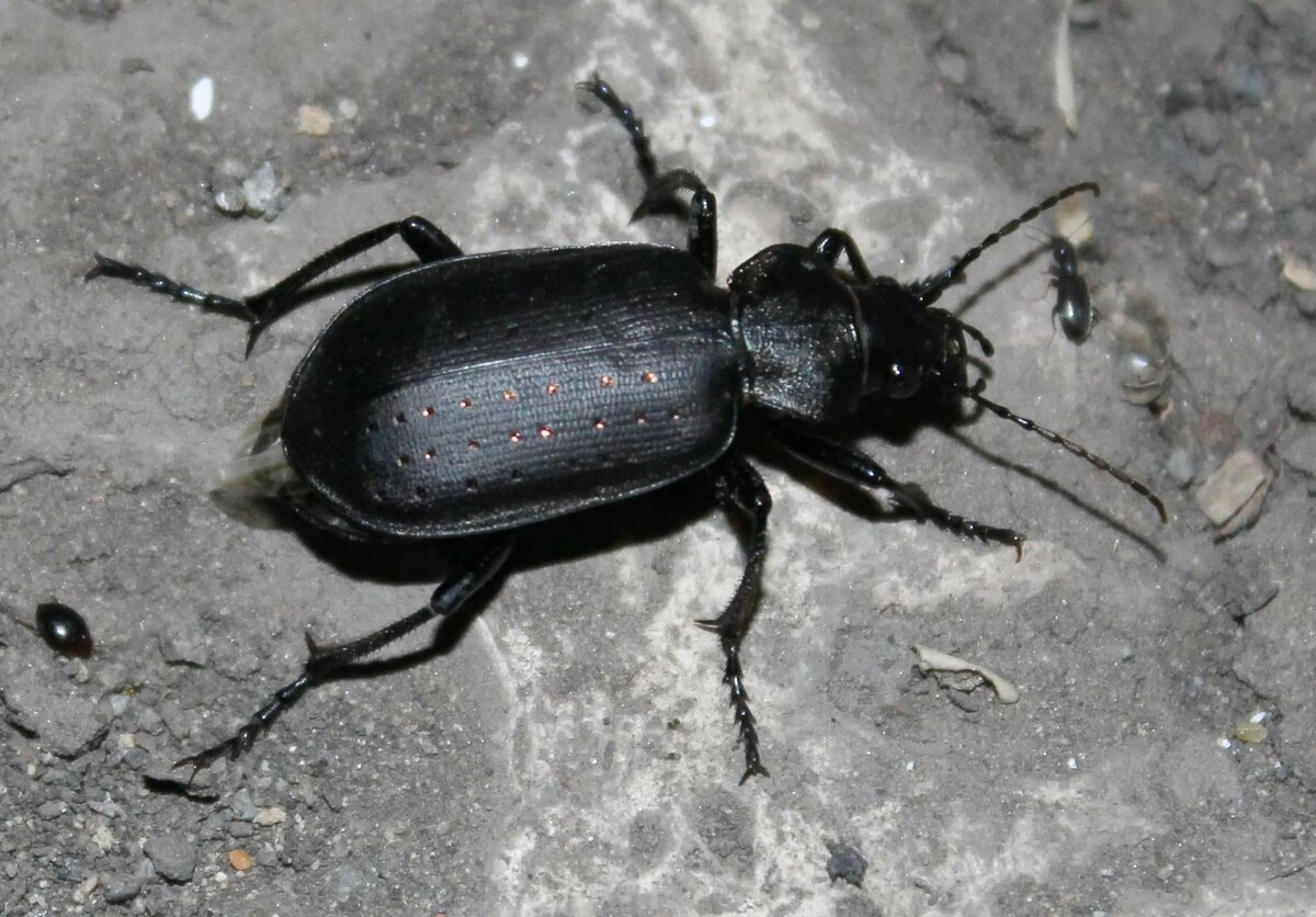 названия черных жуков с картинками многоуровневом помещении